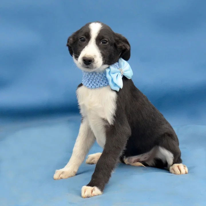 Отдам красивого черно-белого щенка Арчи в дар